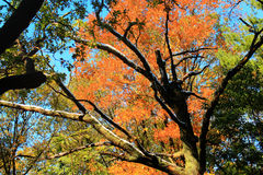 Colorful autumn tree leaves and snow covered tree branches in the park. Stock Photo