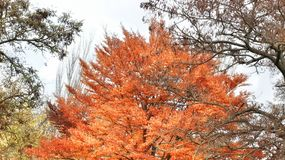 COLORFUL  AUTUMN. Tree with orange coloring during the autumn season Royalty Free Stock Photo