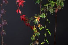 Colorful Autumn Tree Vines stretching down black background, studio image.  royalty free stock photo