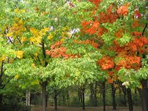 Colorful Autumn Trees. Grove of trees with colorful leaves changing in autumn Royalty Free Stock Photo