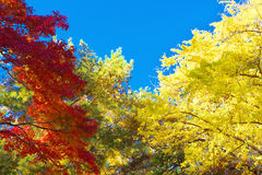 Colorful Autumn trees against blue sky Stock Photography