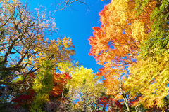 Colorful Autumn trees against blue sky Stock Photo