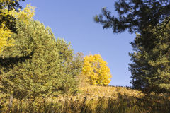 Colorful autumn trees in alpine woodland. Colorful yellow fall or autumn trees in scenic alpine woodland symbolising the changing seasons, Tirol, Austria Royalty Free Stock Photography