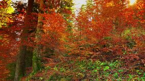 Colorful autumn trees in the forest with golden yellow leaves on path and grass, beautiful seasonal forest, sunny indian summer in. Europe;ULTRA HD 4K, real stock video