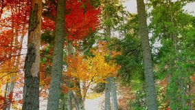 Colorful autumn trees in the forest with golden yellow leaves on path and grass, beautiful seasonal forest, sunny indian summer in stock footage