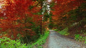 Colorful autumn trees in the forest with golden yellow leaves on path and grass, beautiful seasonal forest, sunny indian summer in stock video