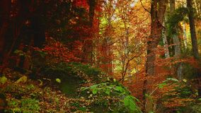 Colorful autumn trees in the forest with golden yellow leaves on path and grass, beautiful seasonal forest, sunny indian summer in stock video footage