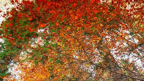 Colorful autumn trees in the forest with golden yellow leaves on path and grass, beautiful seasonal forest, sunny indian summer in. Europe;ULTRA HD 4K, real stock footage