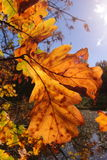 Colorful autumn trees oak in park, rays of the sun Royalty Free Stock Photo
