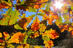 Colorful autumn trees oak in park, rays of the sun Royalty Free Stock Photos