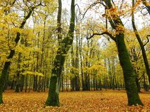 Colorful autumn trees in park. Old trees in Sveksna town park in autumn, Lithuania stock image