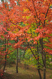 Colorful autumn trees shot on vintage film Royalty Free Stock Photography