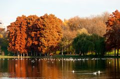 Colorful autumn trees in Tineretului Park from Bucharest City. Beautiful lake with birds and colorful autumn trees in Tineretului Park from Bucharest City Stock Photo