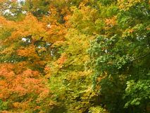 Colorful autumn treetops orange yellow green. Ombre effect on these three treetops with bright orange, yellow, and green, late summer early fall colors in the Stock Image