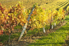 Colorful autumn vineyard Stock Images