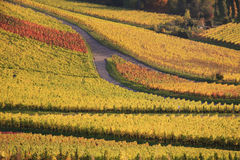 Colorful autumn vineyard. Scenic view of colorful vineyard in autumn Stock Image