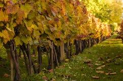 Colorful autumn vineyard Royalty Free Stock Image
