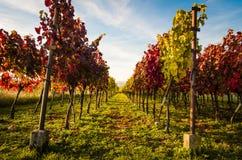 Colorful autumn vineyard Royalty Free Stock Photos