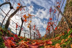 Colorful autumn Vineyard in Wachau valley in Austria. Colorful autumn Vineyard in famous Wachau valley in Austria Stock Photos