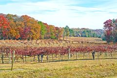 Colorful Autumn Vineyard Landscape. Beautiful autumn landscape, rows of grapes at a wine vineyard stock image