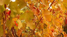 Colorful autumn vineyard leaves Royalty Free Stock Images