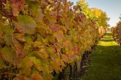 Colorful autumn vineyard Stock Image