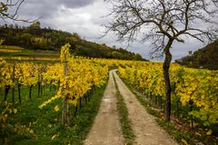 Vineyard in Wachau valley in Austria Royalty Free Stock Images