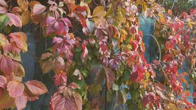 Colorful autumn virginia creeper, wild grape background close up. Dynamic scene. Sunny day. Light breeze stock video footage