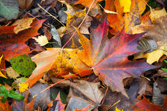Colorful autumn wet leaves lay on the ground Stock Image