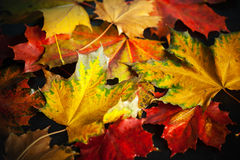 Colorful autumn wet maple leaves Stock Photography