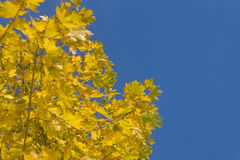 Colorful autumn - yellow leaves of maple tree Royalty Free Stock Photos