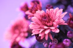 Colorful autumnal chrysanthemum Royalty Free Stock Images
