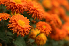 Colorful autumnal chrysanthemum  background Stock Photography