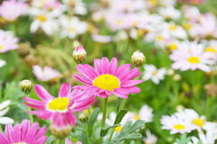 Colorful autumnal chrysanthemum Royalty Free Stock Photography