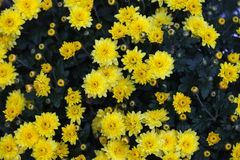 Colorful autumnal chrysanthemum. Blossoming flowers in a garden. Yellow flowers. Fall Flowers. stock photography