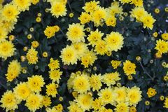 Colorful autumnal chrysanthemum blossoming flowers in a garden colorful autumnal chrysanthemum blossoming flowers in a garden yellow flowers fall flowers mightylinksfo