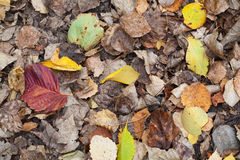 Colorful autumnal fallen leaves lay on the ground Stock Image