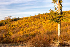 Colorful autumnal forest under blue sky Royalty Free Stock Photos