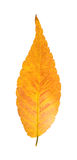 Colorful autumnal leaf Royalty Free Stock Photo