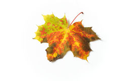 Colorful autumnal leaf. Autumn maple leaves on white Stock Photo