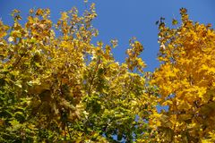 Colorful autumnal leafage of maple against blue sky. Colorful autumnal leafage of maple against the sky Stock Images