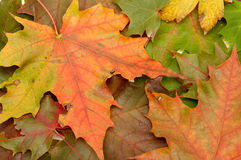 Colorful autumnal leaves royalty free stock image