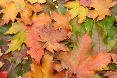 Colorful autumnal leaves Stock Images