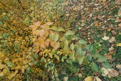 Colorful autumnal leaves on branch of spirea Royalty Free Stock Image