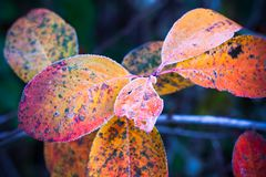 Colorful autumnal leaves covered with frost. In October forest, toned macro photo with selective focus Stock Images