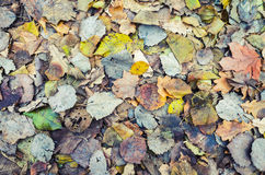 Colorful autumnal leaves layer Royalty Free Stock Images