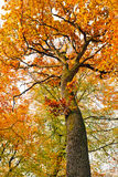 Colorful autumnal oak tree Stock Photography