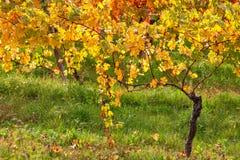 Colorful autumnal vineyard. Stock Photos