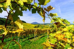 Colorful autumnal  vineyards of Alsace, France Stock Images