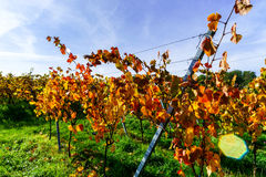 Colorful autumnal  vineyards of Alsace, France Royalty Free Stock Images